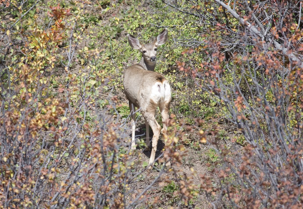 A young deer turns its head to look back while feeding in the bushes just off Routt County Road 129 north of Steamboat Springs.