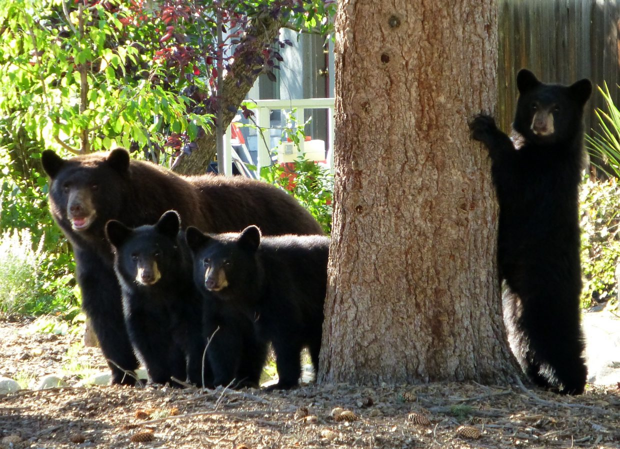 Wildlife officials caught and moved three bears that were causing problems near Steamboat Springs High School. Steamboat Today reader Gail Hanley took this photo of a sow and her cubs in Steamboat earlier this month.