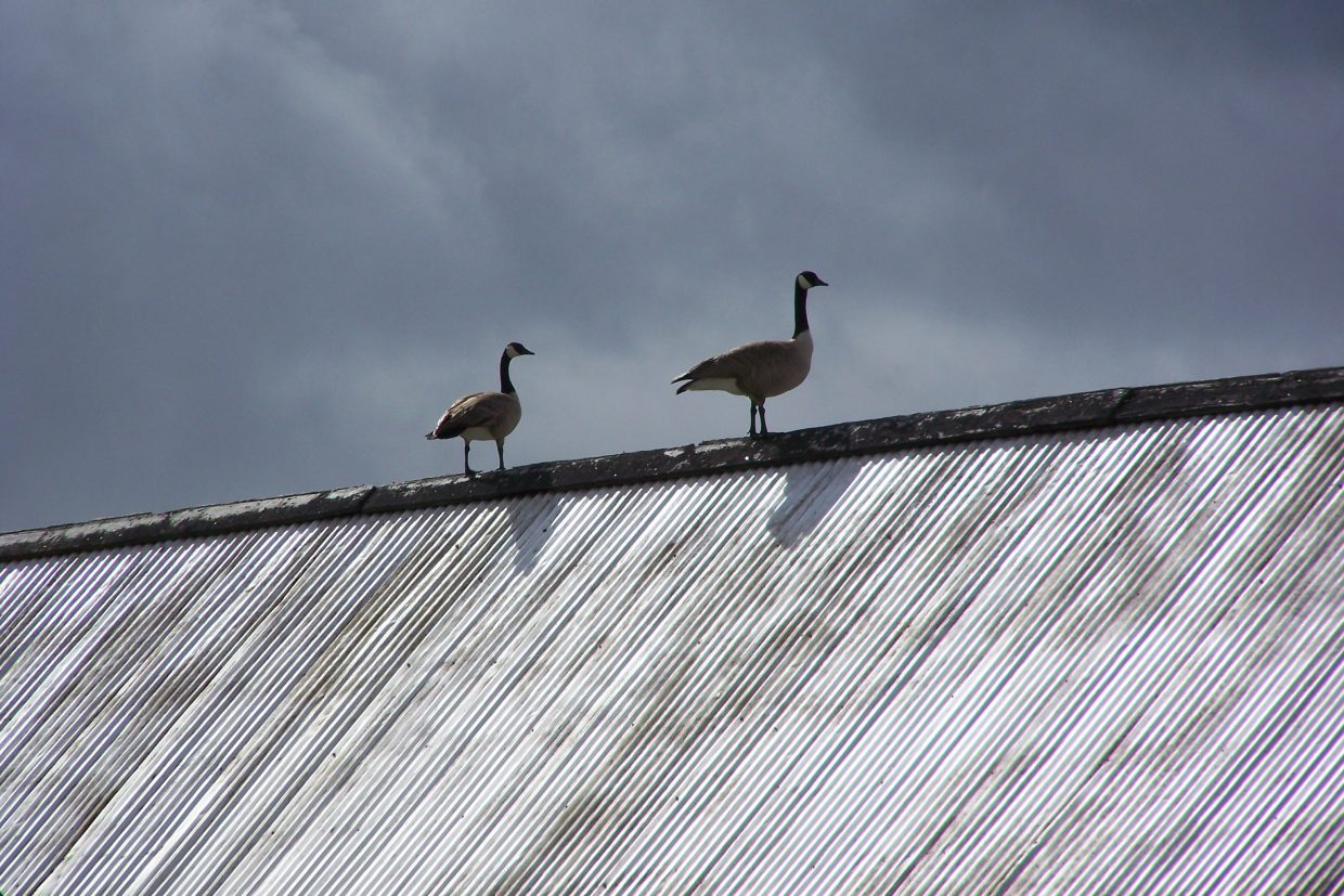 We've never had geese settle on the point of our barn roof but this year, the view must be wonderful; two weeks ago there was one and this week there are two. Submitted by Jo Stanko.