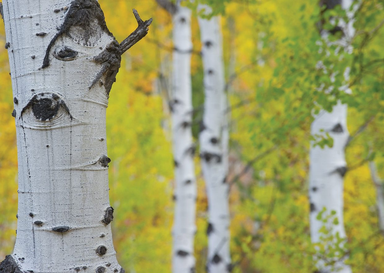 The aspen trees around Steamboat Springs still are holding onto their autumn colors.