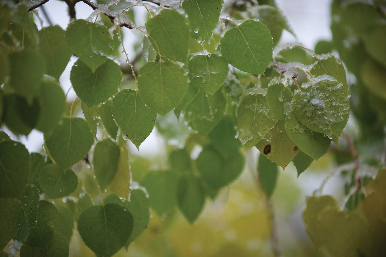 Snow and ice cling to the leaves of an Aspen tree Friday morning near Fish Creek.