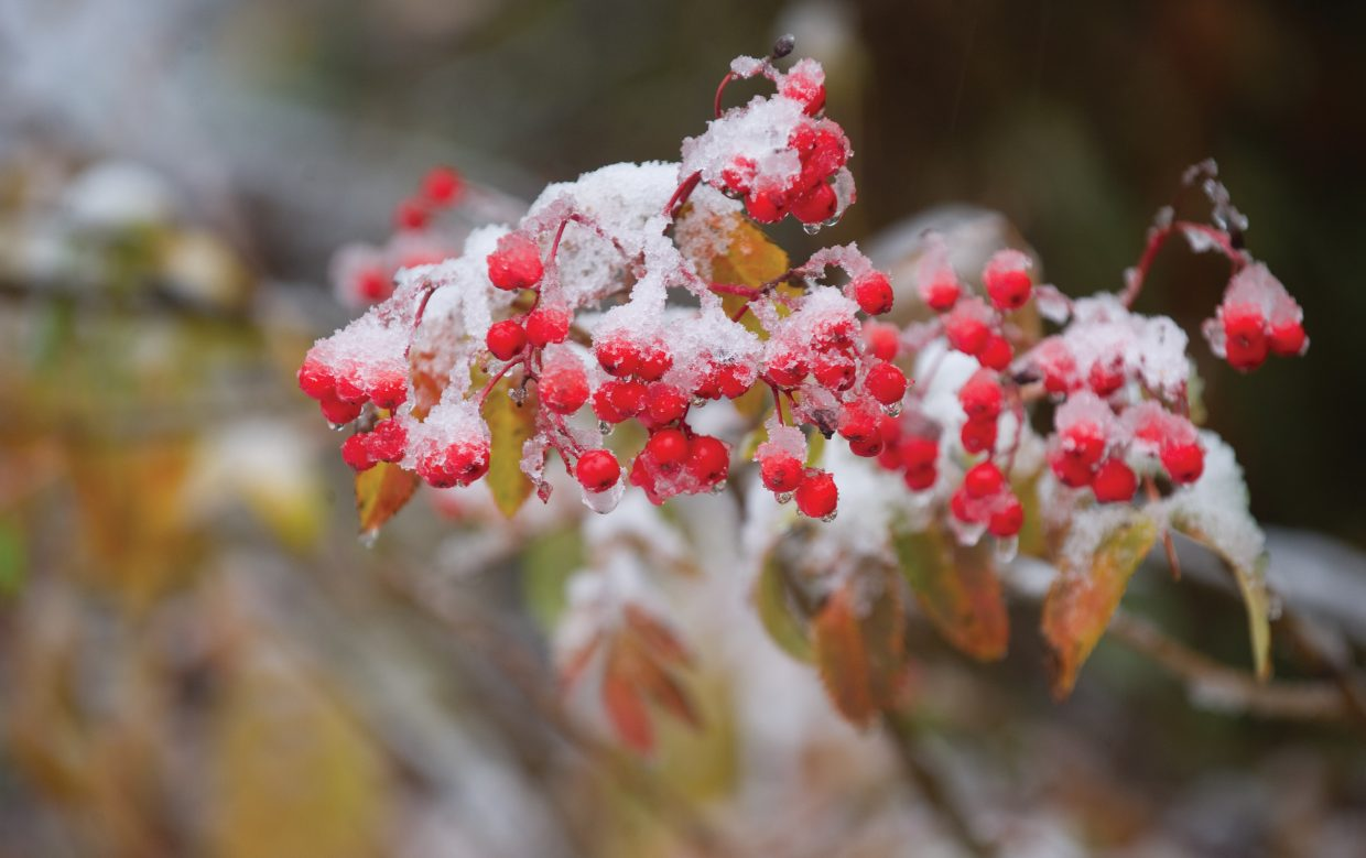 Snow clings to the berries on a Mountain Ash bush near Fish Creek on Friday morning.