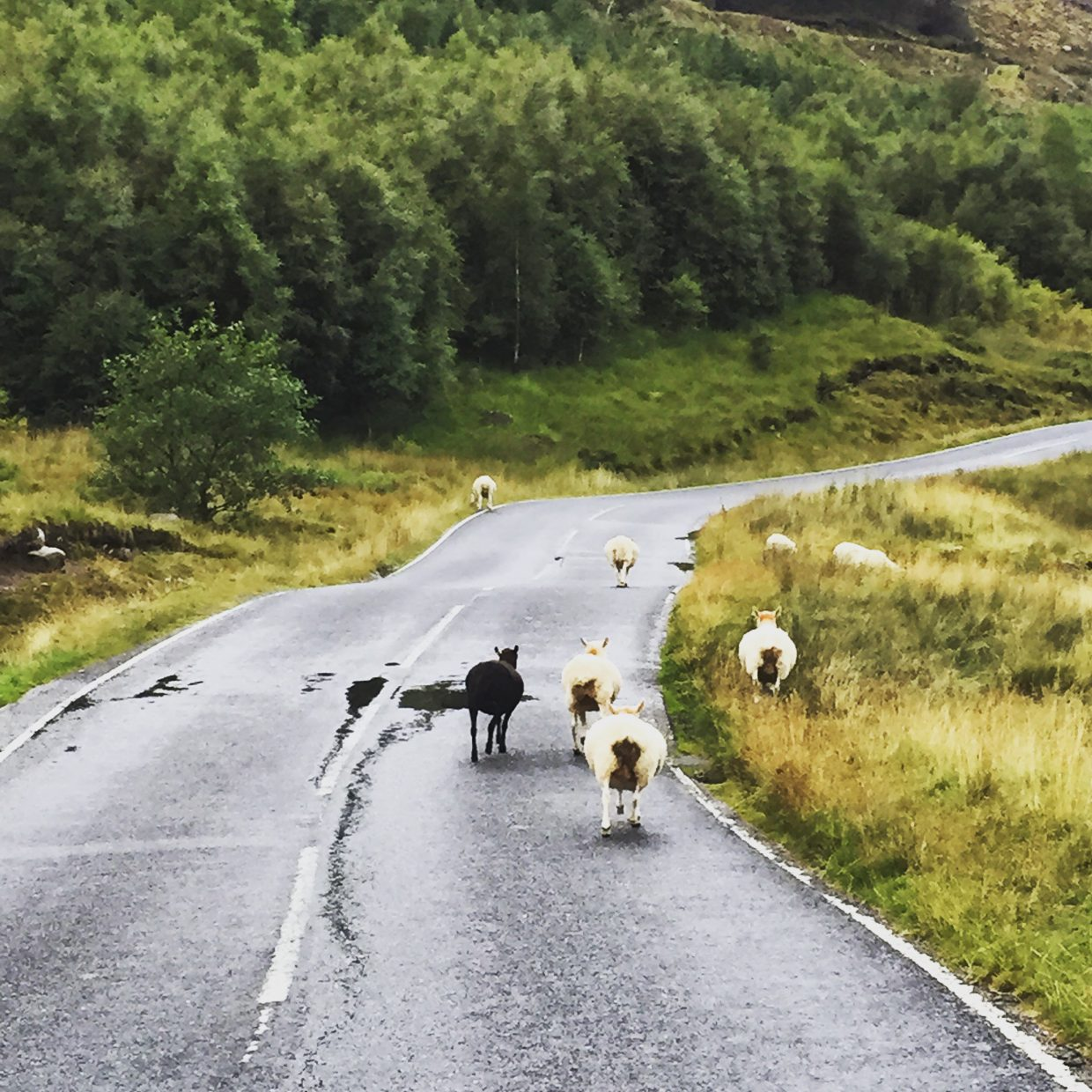A country road in the Highlands and is a typical Scottish sight.