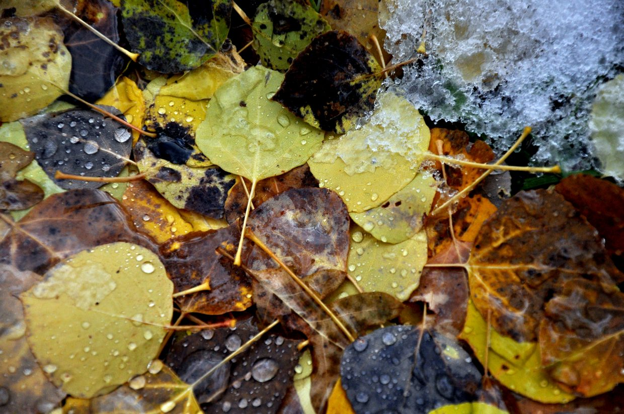 Snow thaws on colorful aspen leaves near Fish Creek Falls on Sunday.