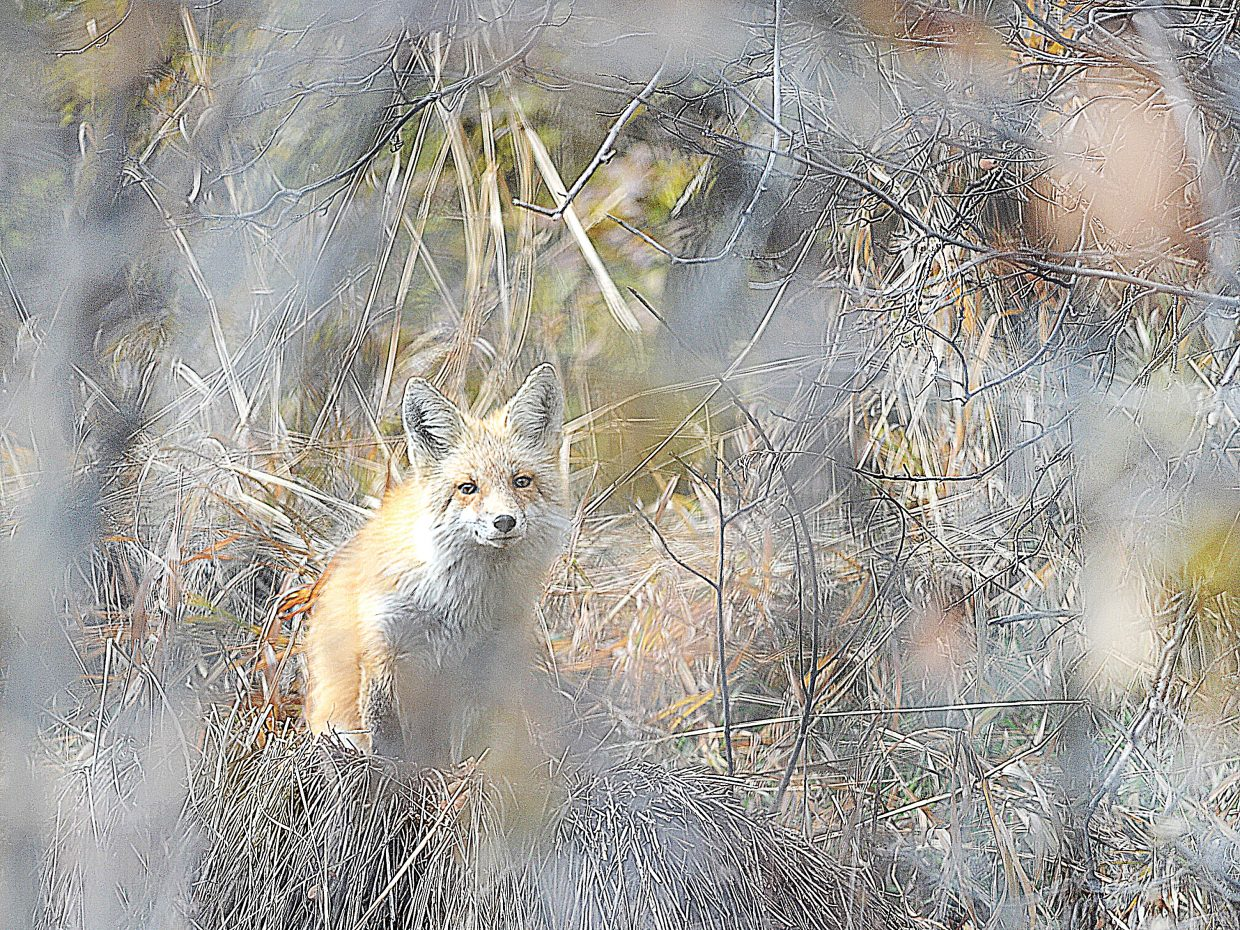 A fox hides behind brush near Colorado Mountain College on Wednesday afternoon.