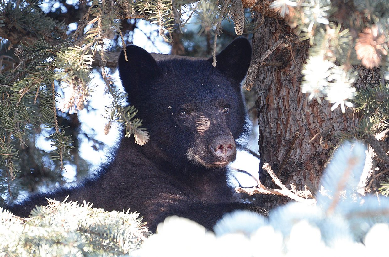 A bear hides in a tree after Steamboat Springs Police officers interrupted his morning snack (a part of an elk thought to be pulled out of a hunter's vehicle) Monday outside the Rabbit Ears Motel in downtown Steamboat Springs.