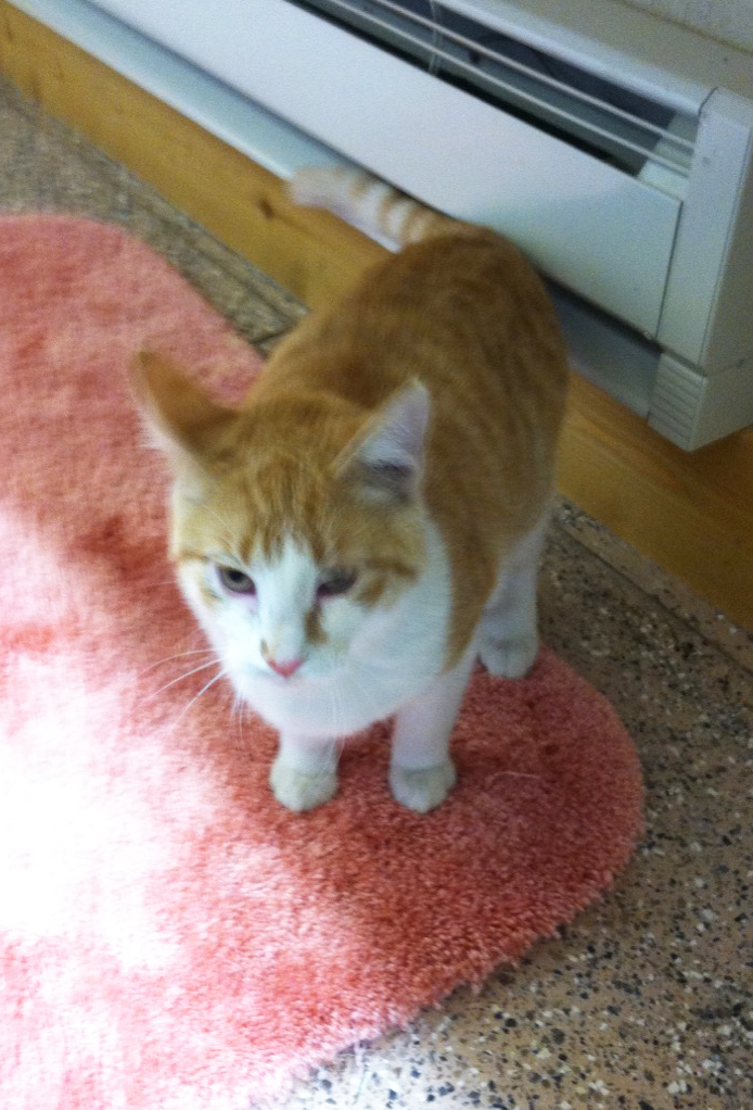 Manslow is one of two cats being fostered by the Routt County Humane Society.