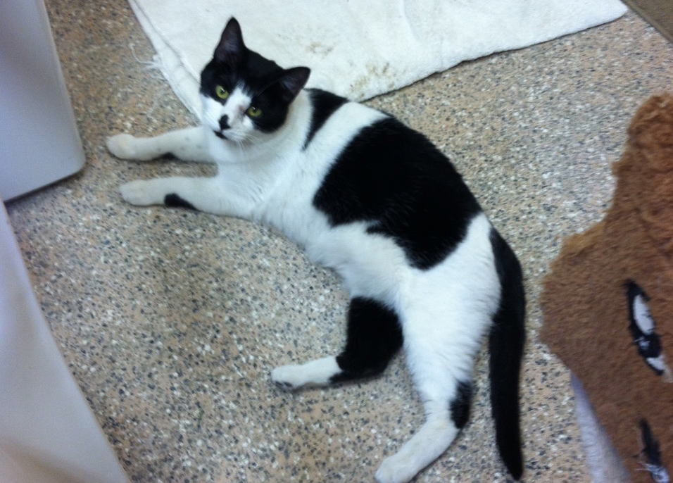 Millie is one of two cats stranded in Routt County following a fatal truck accident Monday.