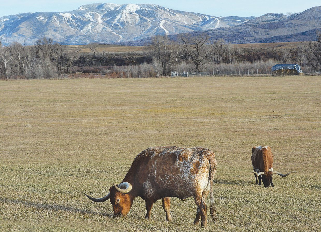 Move over winter, at least for a few days, as these longhorn cattle enjoy a warm fall day while grazing in a pasture west of Steamboat Springs on Wednesday afternoon.
