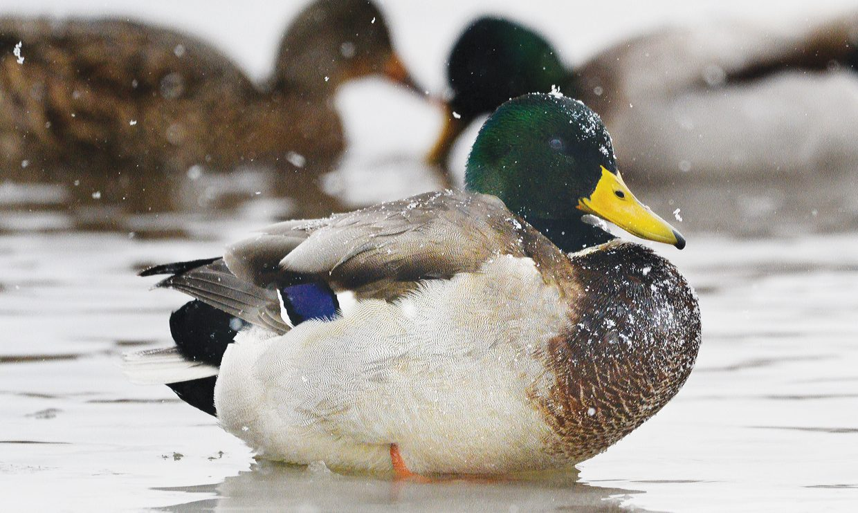 A duck does its best to stay warm Monday morning while sitting on the ice at the West Lincoln Park pond. Monday's winter storm caught many local residents, including these ducks, off guard.