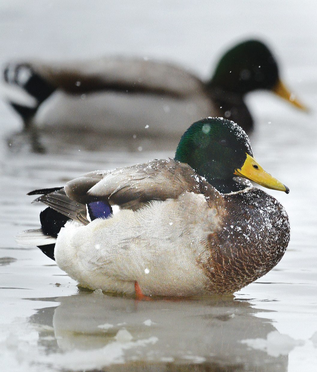 A duck does its best to stay warm Monday morning while sitting on the ice at the West Lincoln Park pond.