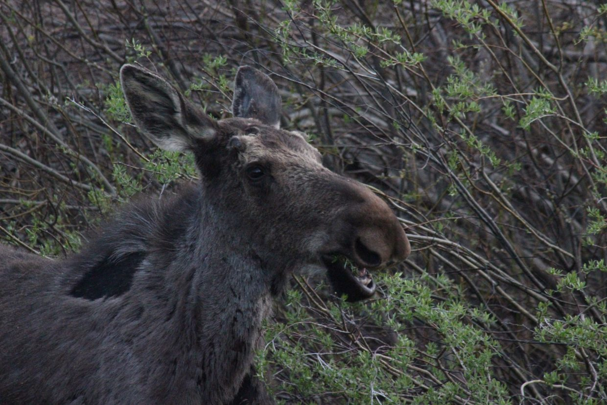 Baby moose says om nom nom. Submitted by: Kasey Kirkendall