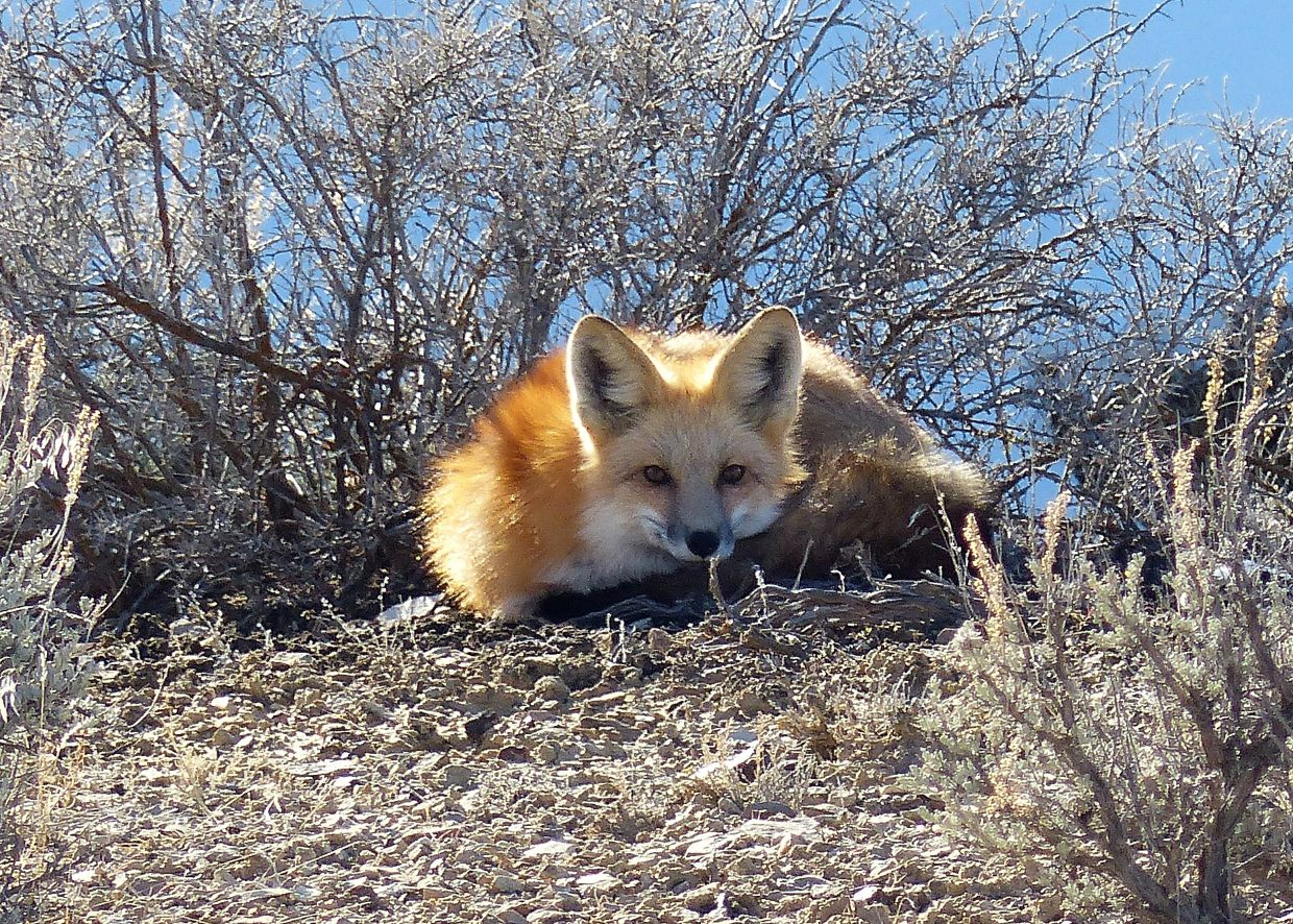 Professional photographer Patti Mosbey, of Craig, snapped this beautiful photo of a fox at Sand Wash Basin this week.