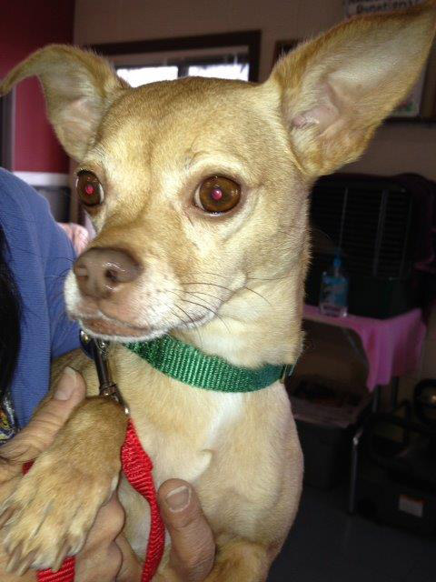 Frederico is a charming, handsome, 4-year-old male Chihuahua. This friendly guy knows some basic obedience and would like to snuggle in your lap. He would make the perfect companion. Come meet him at the Steamboat Springs Animal Shelter, or call 979-879-0621 for more information.