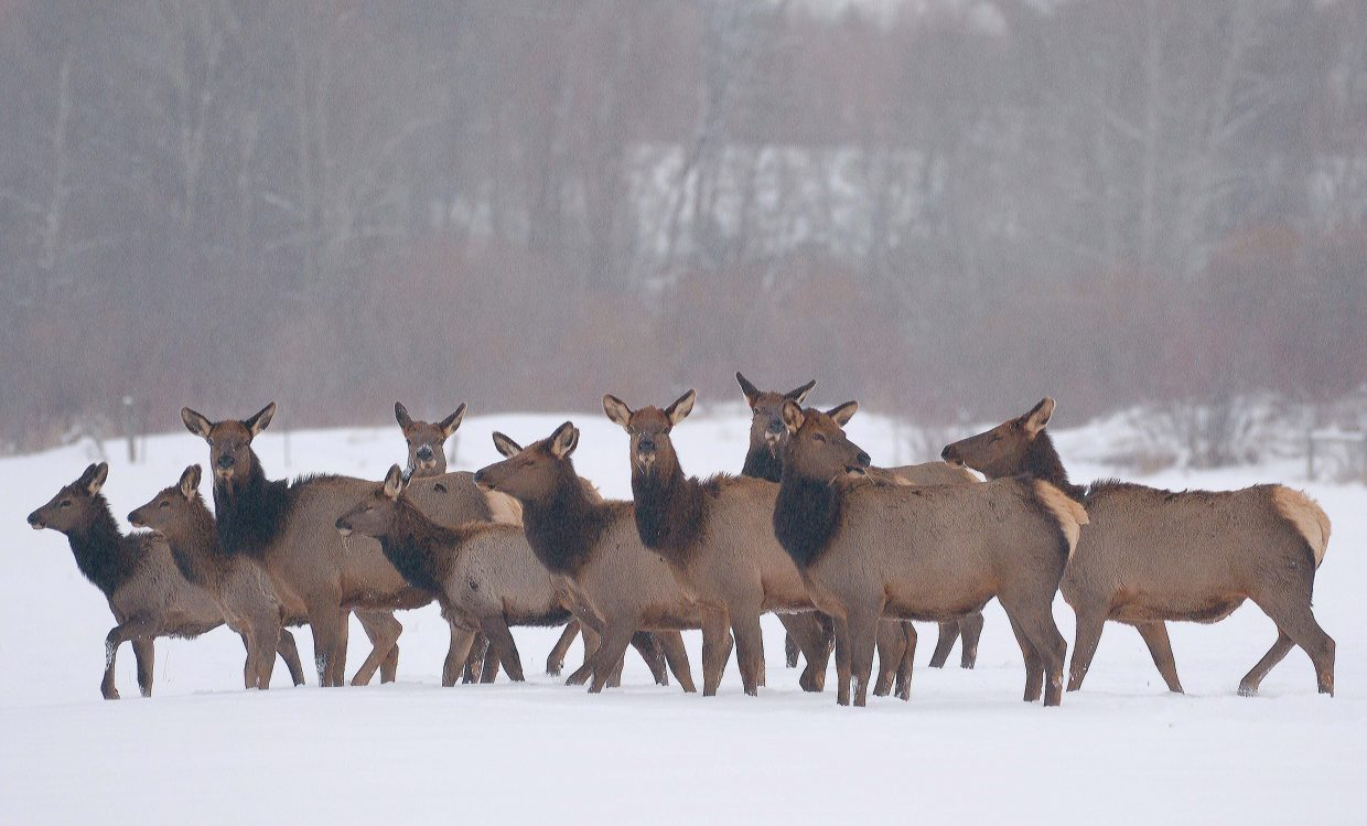 A herd of elk make its way through the snow at a ranch along River Road Monday afternoon.