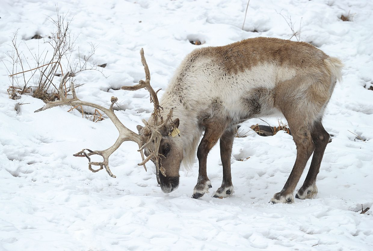 A reindeer digs for vegetation in the snow just off of Routt County Road 36 on the way to the Strawberry Park Hot Springs Monday afternoon. The domesticated animals seem right at home in Routt County's winter landscape.