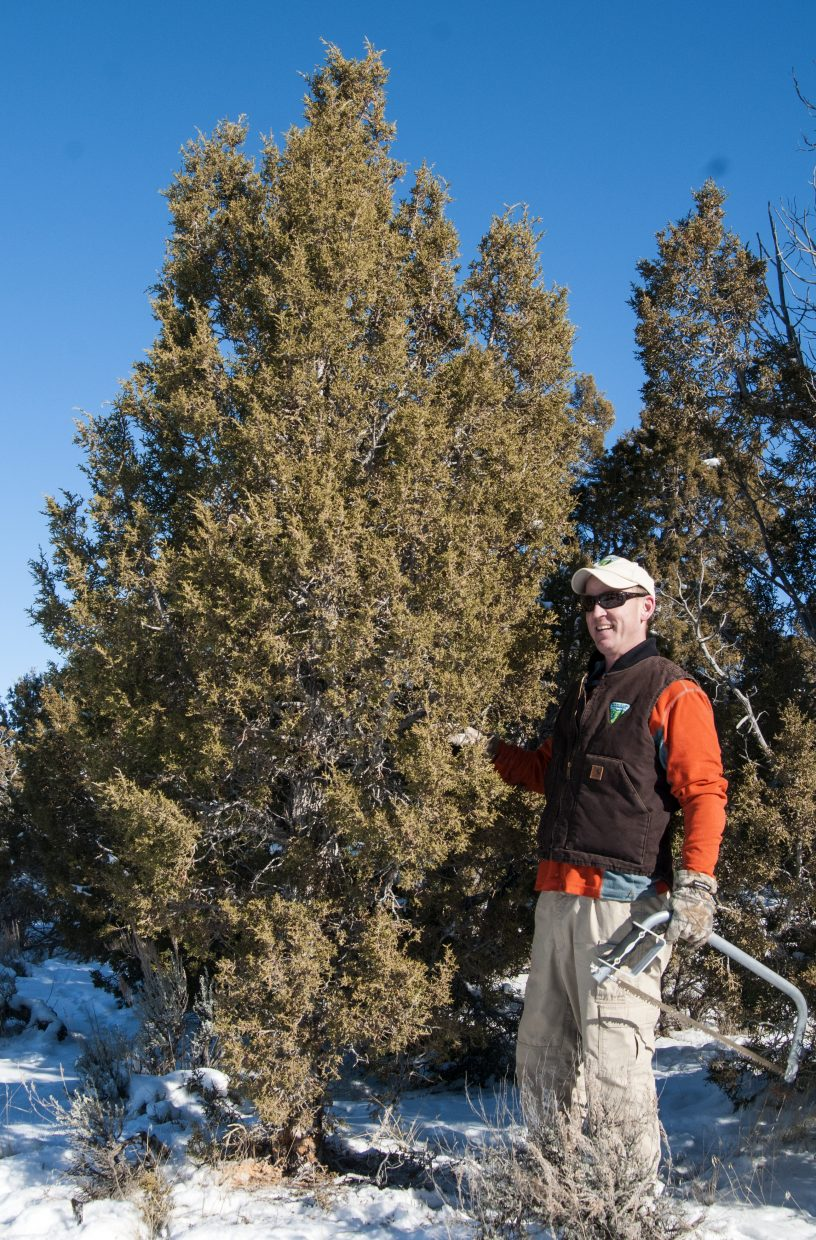 """Chris Joyner, public affairs specialist for the Bureau of Land Management Colorado Northwest District, prepares to topple over a juniper harvested from the Simsberry Draw northwest of Maybell off of State Highway 318. The BLM provided the tree to the Craig Daily Press for this story. With the help of Love INC in Craig, the Daily Press gave the tree to Craig resident and single dad Jesse Smith-Golden and his 9-year-old son, Sean Smith. """"The whole six years we've lived up here, we haven't had a Christmas tree,"""" Smith-Golden said. """"It's something I really can't afford... and my son was really hoping for a Christmas tree. He's super excited."""""""