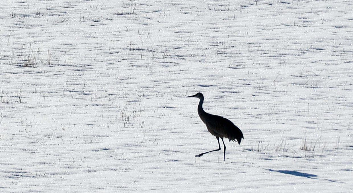 A sandhill crane makes its way across a snow-covered field west of Steamboat Springs Friday. While most of the majestic birds have left for the winter, this one seems right at home in the snow and cold of the Yampa Valley.