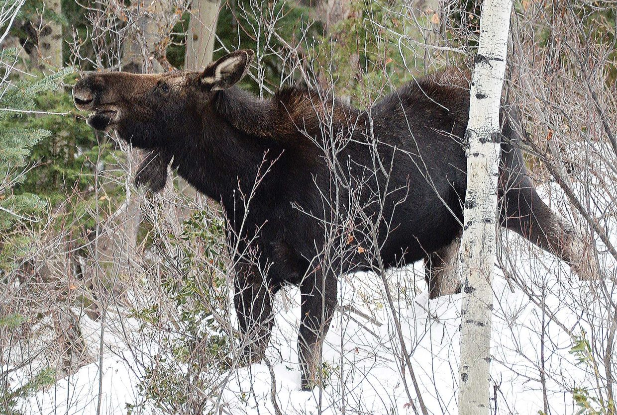 A moose hangs out in the trees along the road that leads to the Strawberry Park Hot Springs on Thursday afternoon. Routt County Road 36 is a fairly busy road this time of year as visitors head to the hot springs, but this moose stayed tucked into the trees.