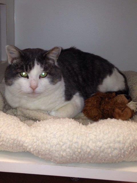 Buddy is a friendly, sweet male tabby. He is a quiet soul that would flourish in a mellow home where he can give lots of love. Come meet him at the Steamboat Springs Animal Shelter, or call 970-879-0621 for more information.
