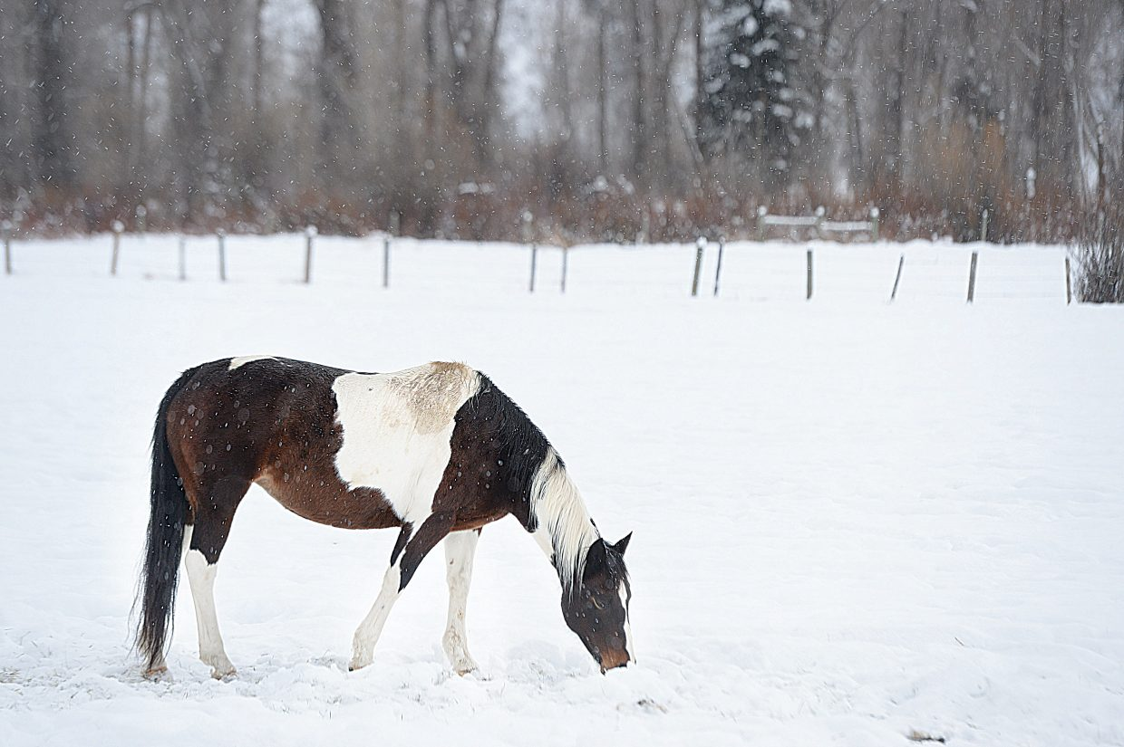 A horse pushes through the snow while eating feed in a pasture in northern Routt County on Wednesday.