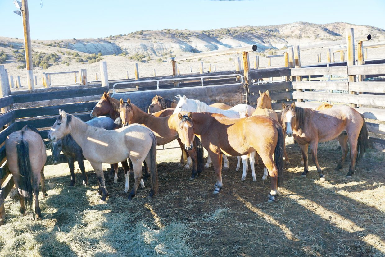 Wild horses captured in early November calmly await sorting by the Bureau of Land Management. Gathering of horses in Sand Wash Basin by BLM will be suspended temporarily during the holidays and will resume Jan. 3.