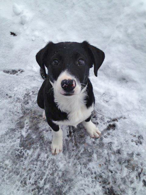 Emma is a darling, sweet 3-month-old Aussie/Lab mix. She is a playful puppy and really enjoys being around people. For fun, entertainment and a good hiking buddy, come check her out at the Steamboat Springs Animal Shelter, or call 970-879-0621 for more information.
