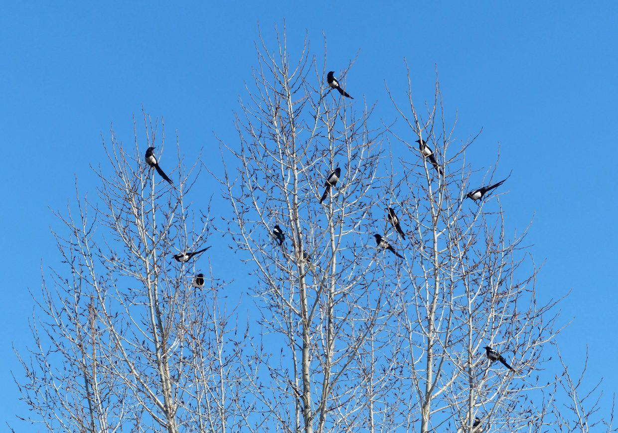How many magpies in a tree? They were perched up in the tree, watching out over the Starbucks drive-through line. Submitted by Shannon Lukens.