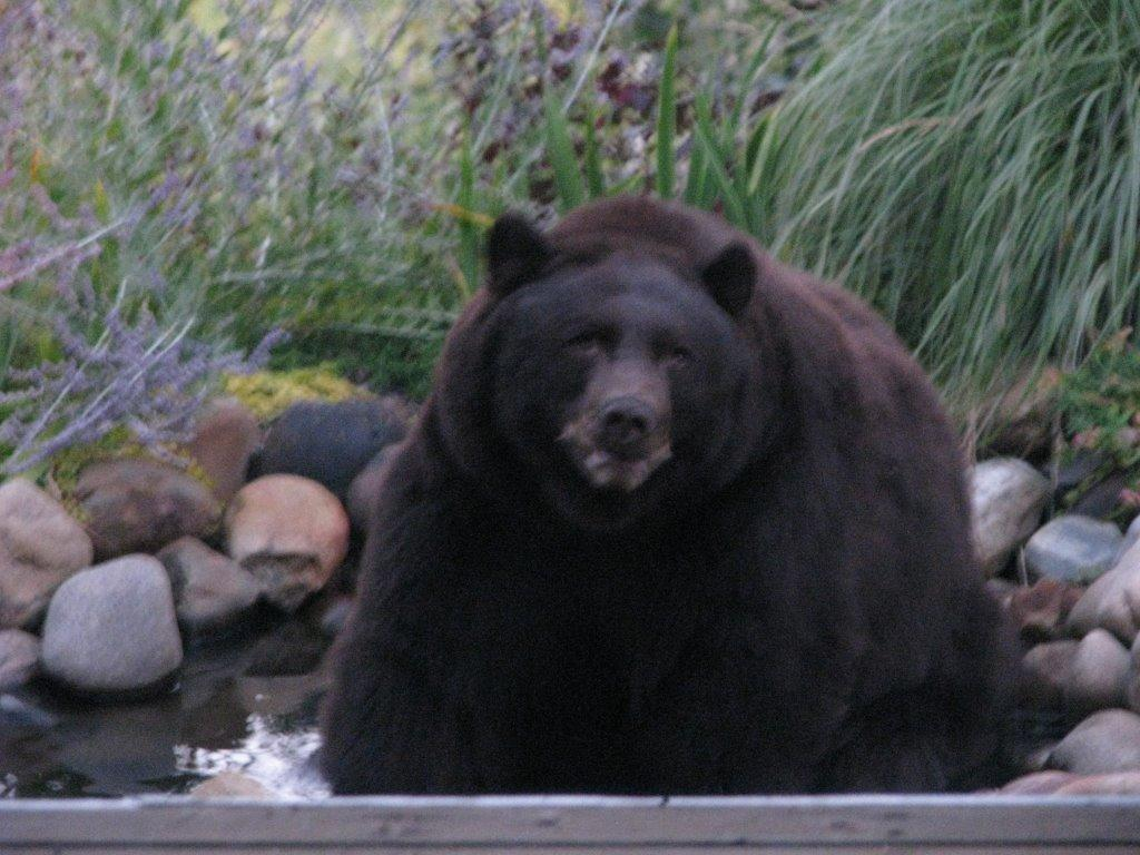 This photo was taken Tuesday at a house on River Queen by our friend, Brett Mullin. Big huge bear hanging out in someone's water feature at their house. Submitted by: Holly Hunter