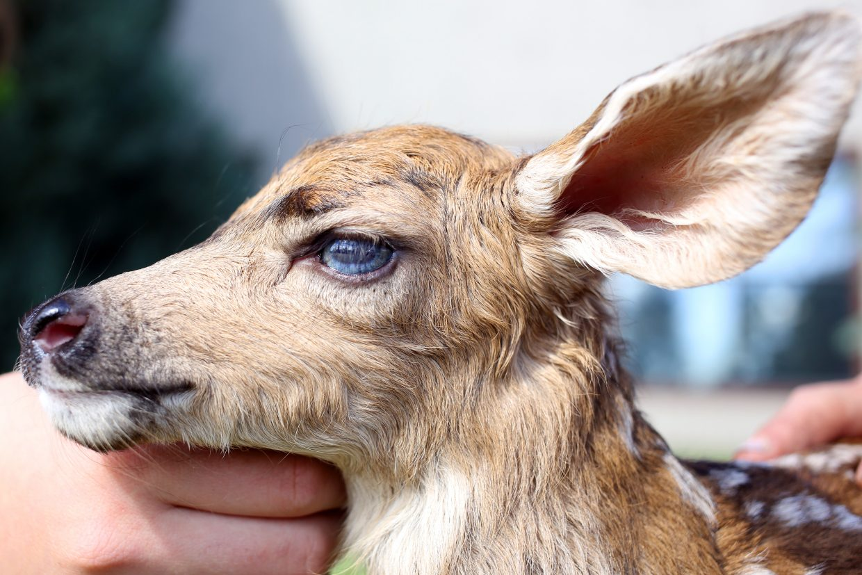 Colorado Parks and Wildlife advises residents to let young fawns, as well as other small animals, lie as they are. Fawns are often left alone by their mother for hours at a time as they go feed.