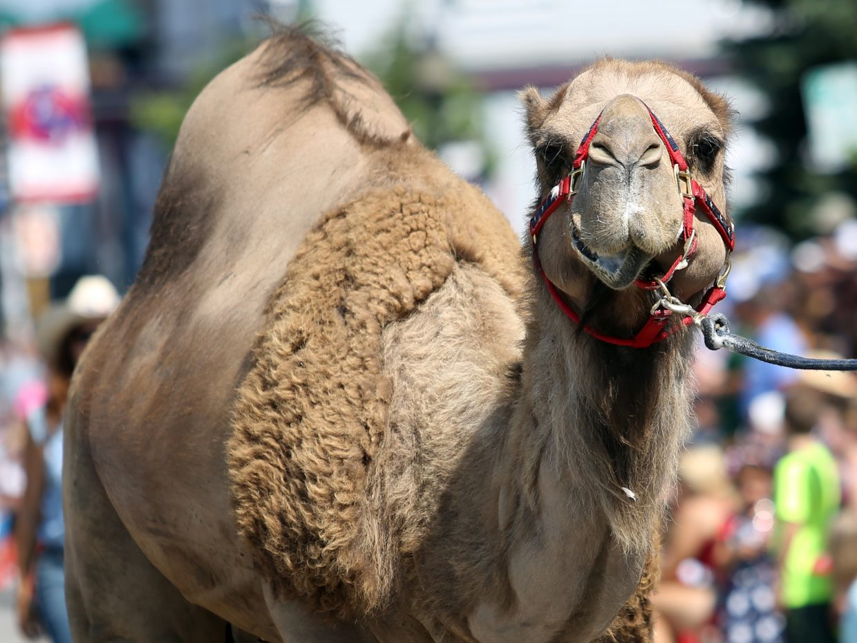 A camel plays its part in the Routt County Democrats' float during Saturday's Fourth of July parade in Steamboat Springs.