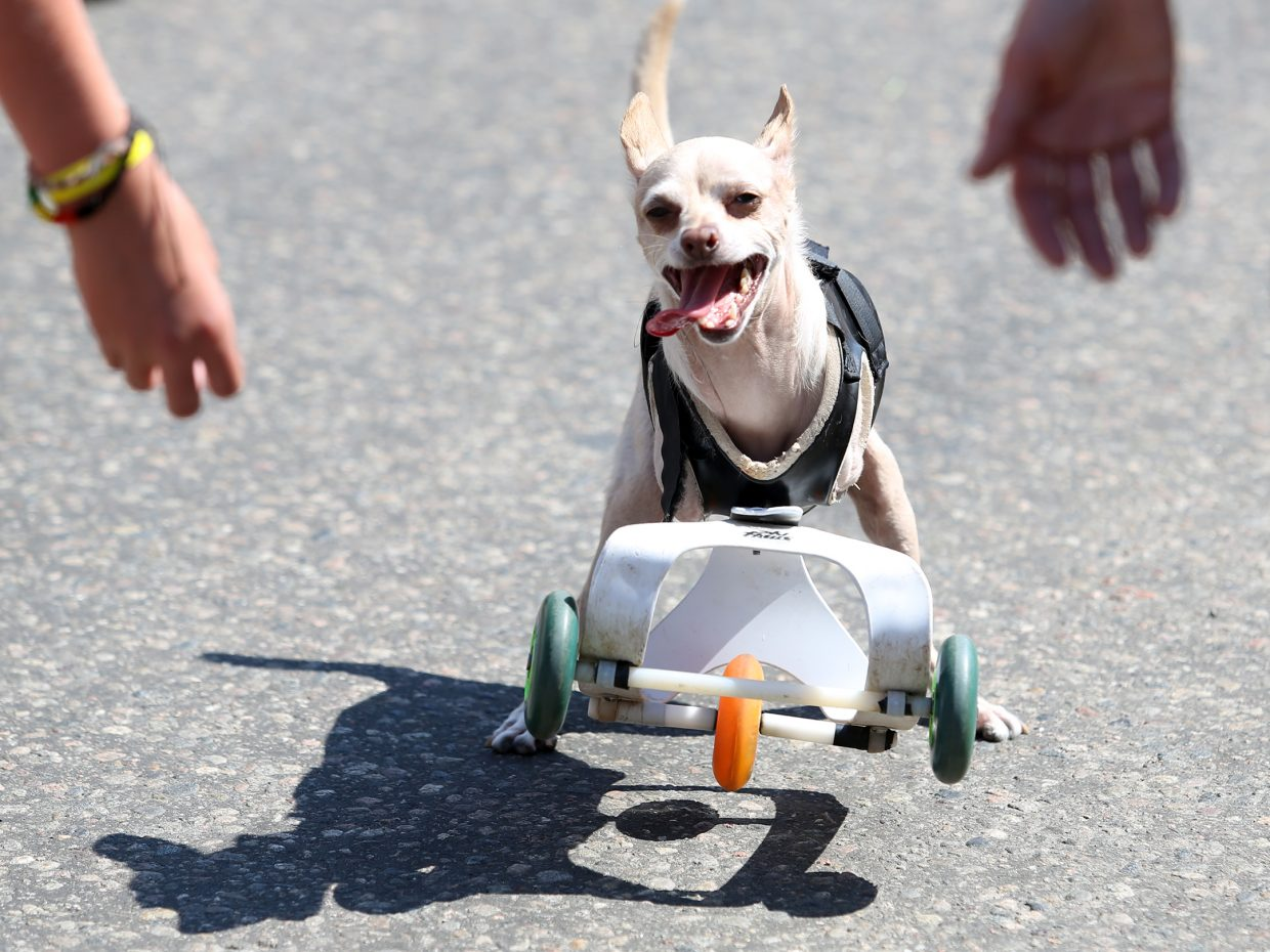 A two-legged dog happily rolls down the street as part of the Fourth of July parade float for Heeling Friends, an animal-assisted therapy program in Steamboat Springs.
