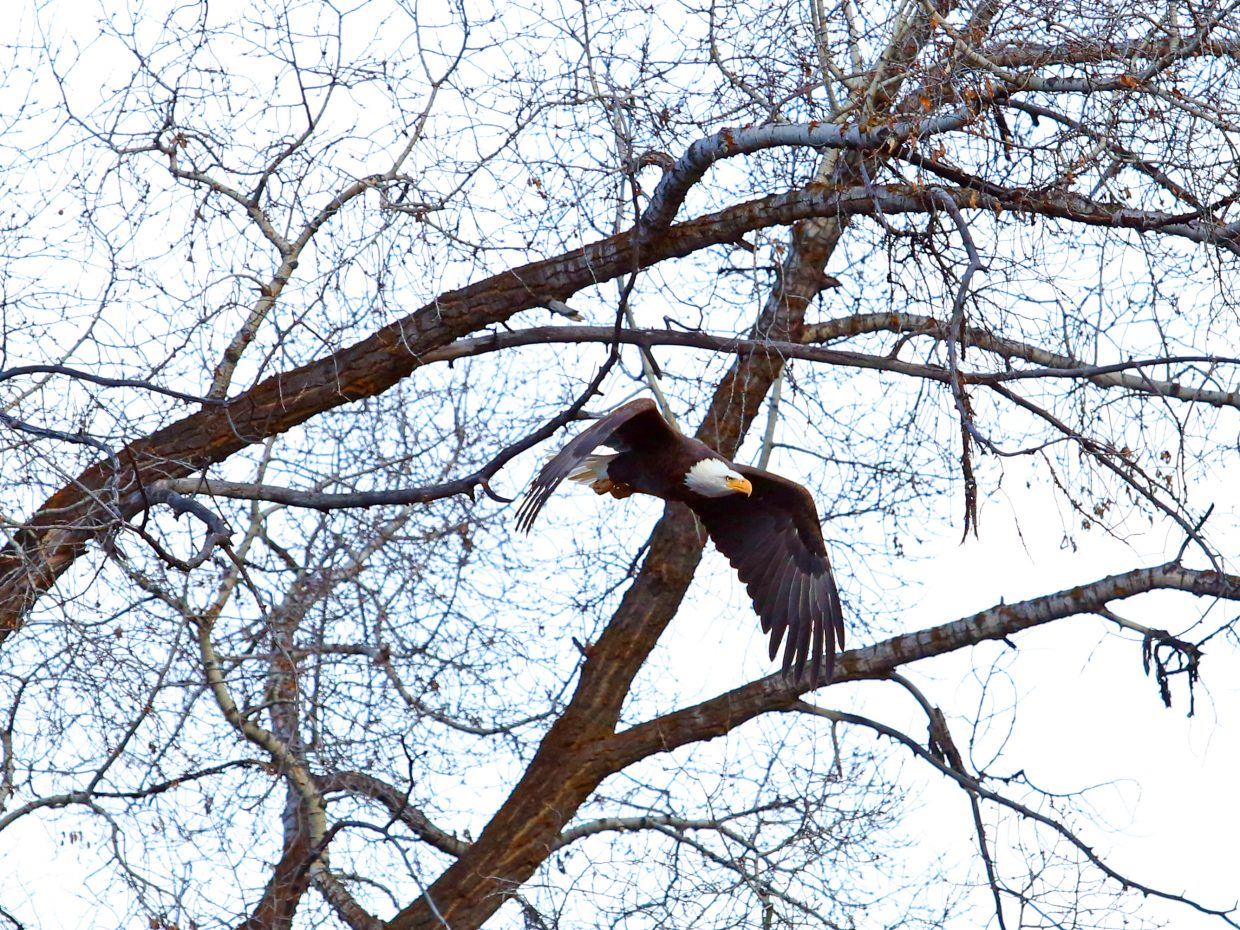 A bald eagle takes off from its perch Sunday along the Yampa River in Steamboat Springs.