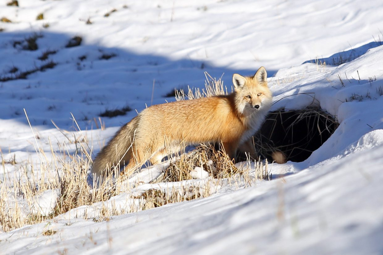 A fox hangs out near its den on Sunday afternoon along Lincoln Avenue in Steamboat Springs.
