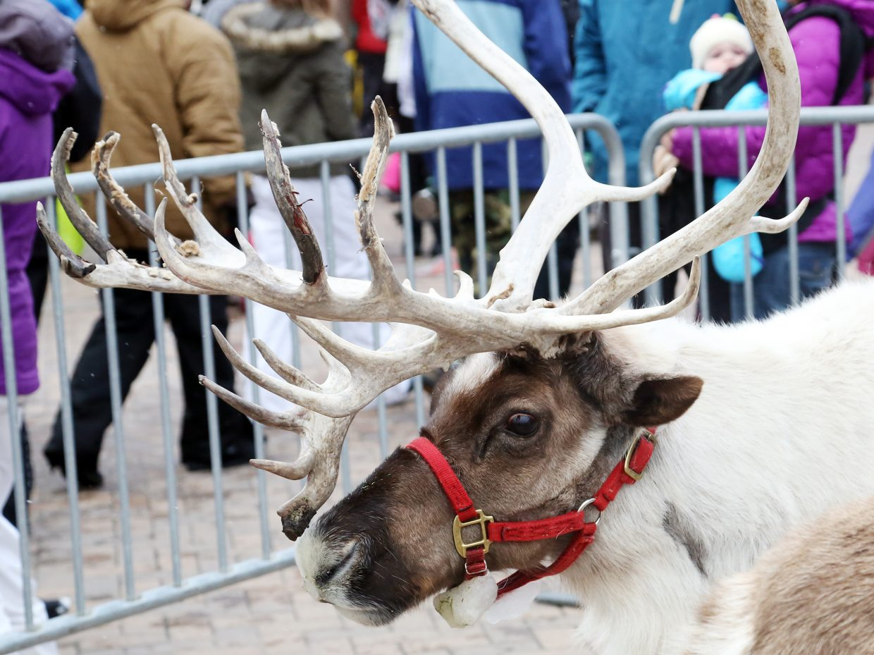 Reindeer — possibly Santa's own — were part of the festivities Sunday during the Holiday Festival at the Steamboat Ski Area.