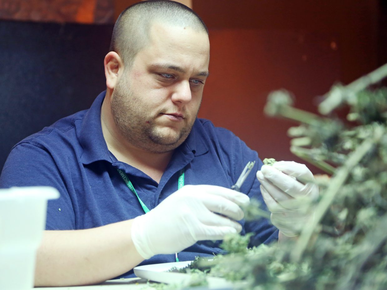 Craig resident Mike Lueken clips buds at Backcountry Cannabis Company on Thursday in Oak Creek.