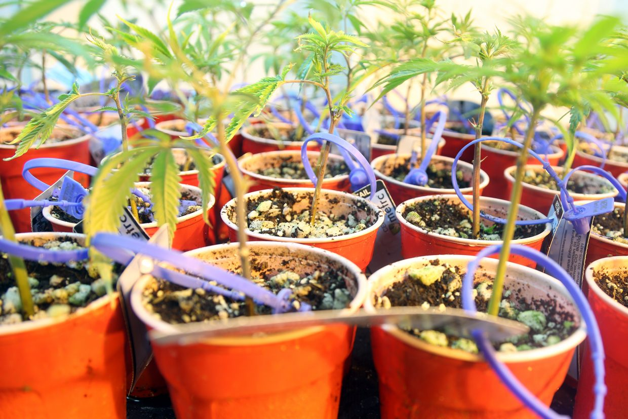 Young plants grow at Backcountry Cannabis Company in Oak Creek.