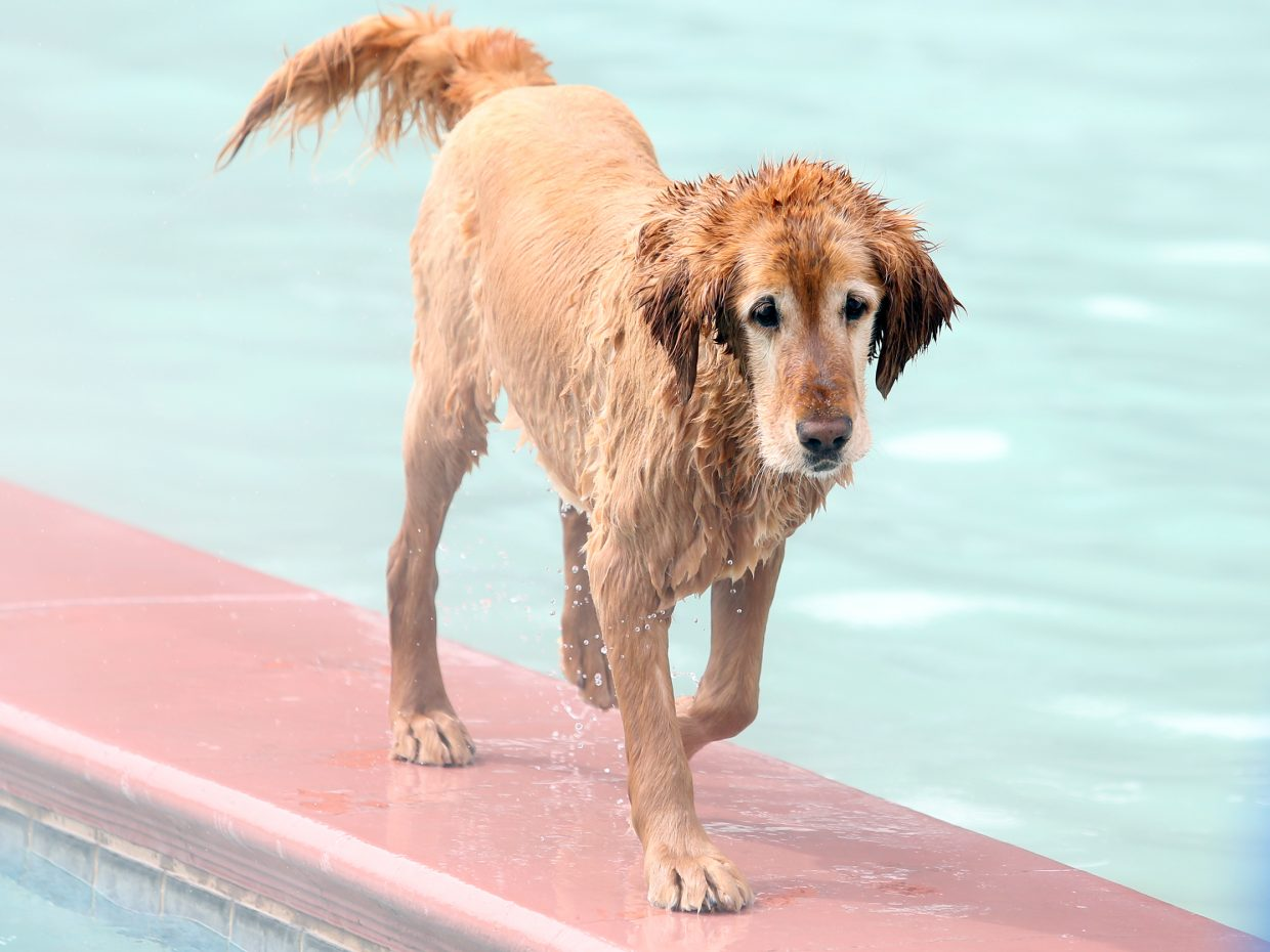 A dog strolls the median between the Old Town Hot Springs pools Sunday during its Poochy Paddle event.