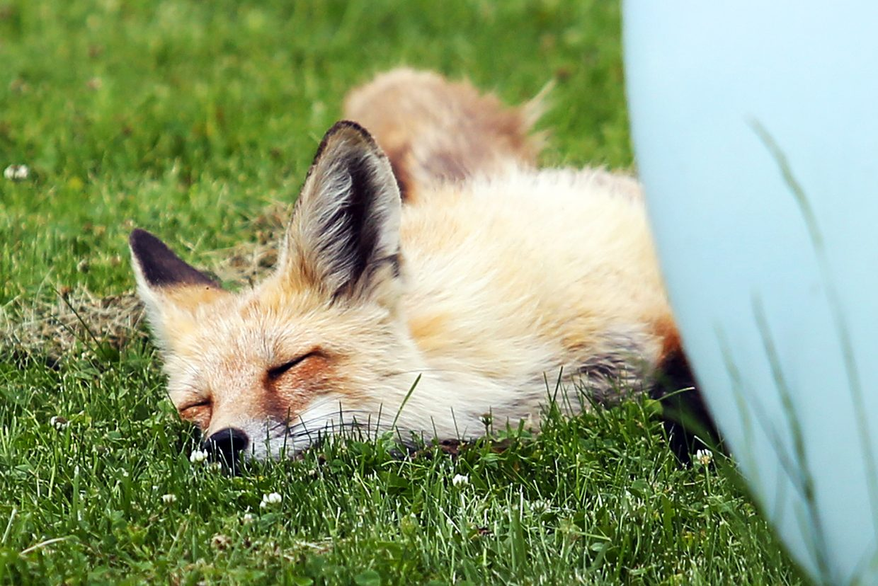 A fox naps behind a propane tank Sunday off 13th Street in Steamboat Springs.