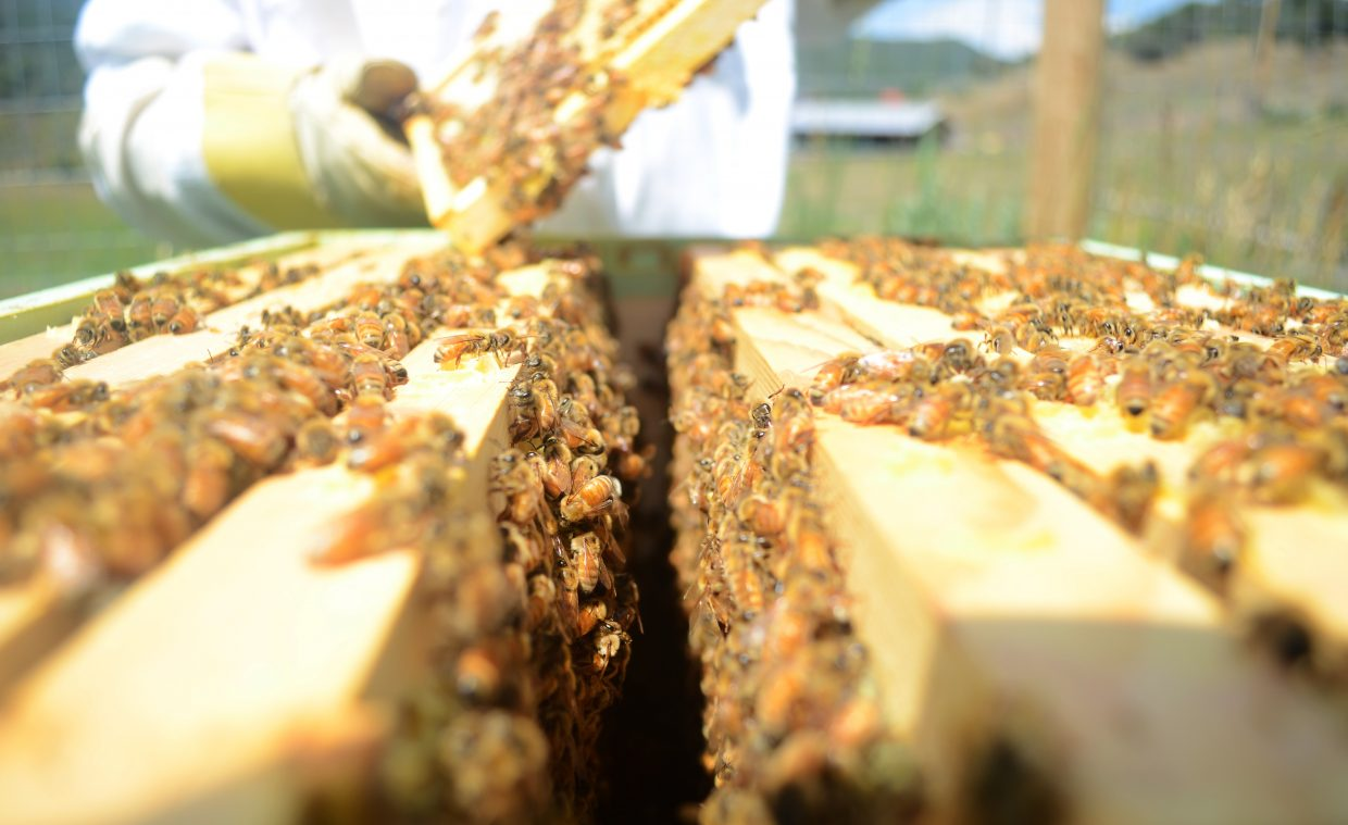 Each one of Dave Truly's beehives can contain about 60,000 bees. Truly originally purchased two hives in Denver but since has purchased more and created swarms of his own, which help the garden outside his home near Stagecoach.