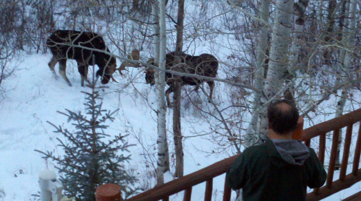 Partially bald man spotted by two moose on Huckleberry Lane. Submitted by: Leslie Richardella