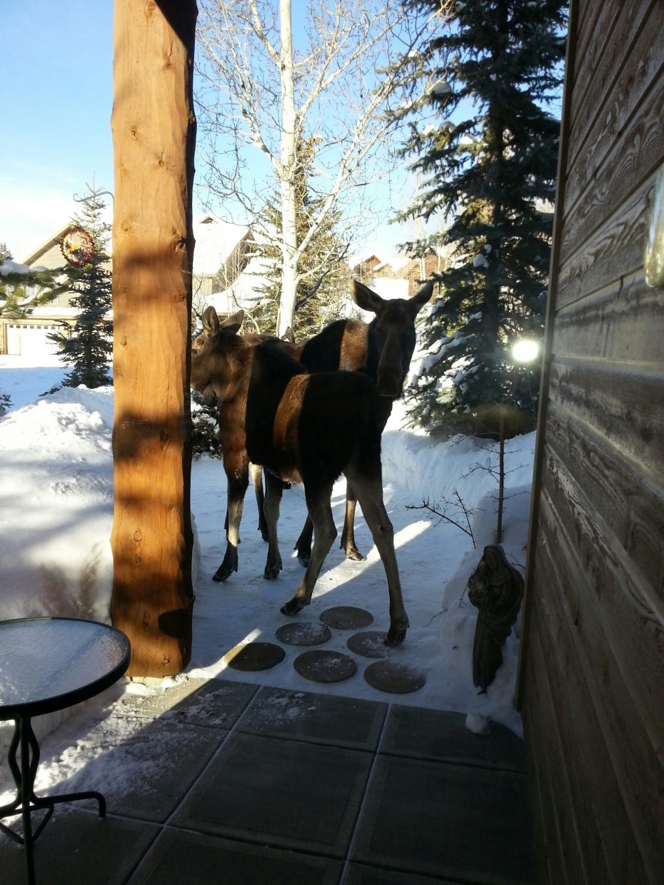 Two moose outside our townhouse on Moraine Circle on Wednesday. Submitted by Larry Schroeder.