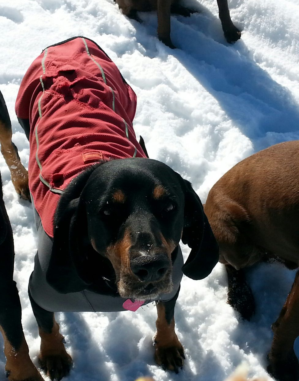 Please Please share this photo of Mini. She ran away from the fireworks on New Year's eve and hasn't been seen since. It was the coldest night of the year and we are so worried about her. She is a black and tan coonhound wearing a red and gray jacket. She is a skiddish girl but friendly. She may be hiding in someone's garage, shed or barn. Last seen running up 6th St towards the school. Please call Sarah Hoeller at 846-6625.