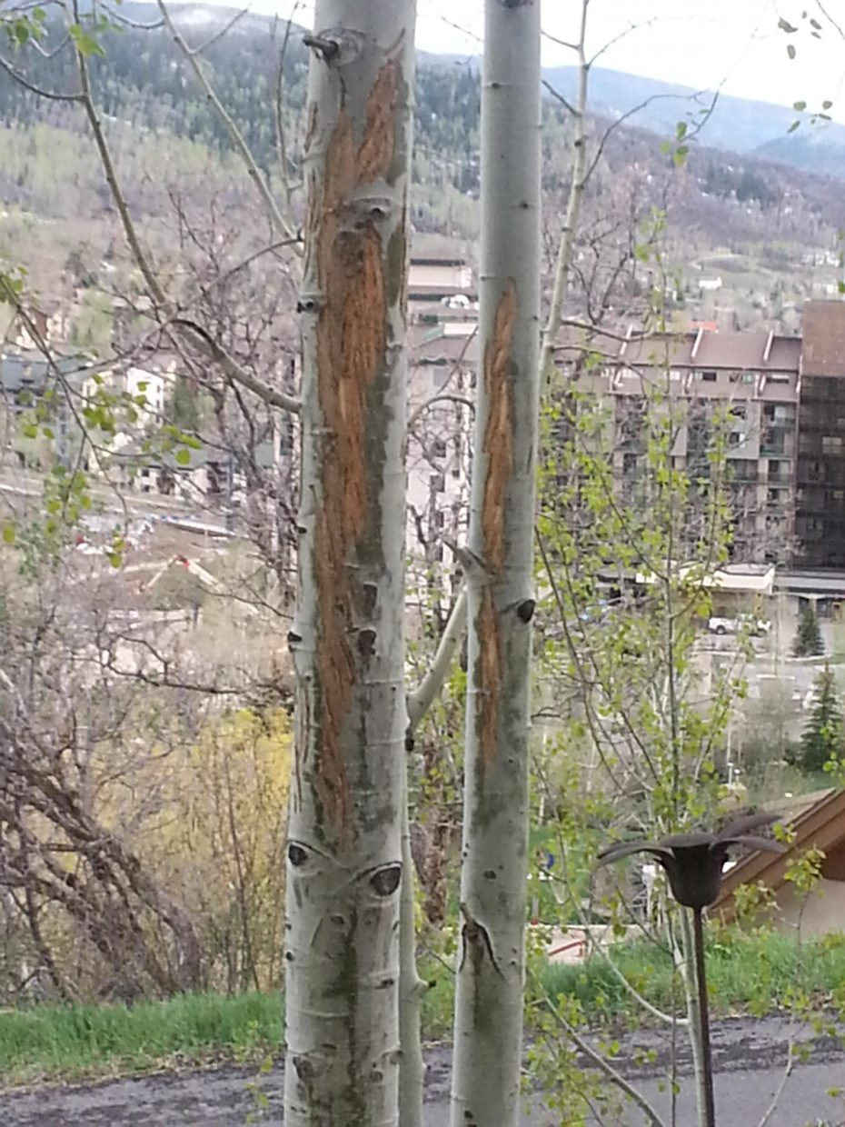 No berries here! Bear giving aspens in backyard a makeover this past weekend. Submitted by: George Avgares