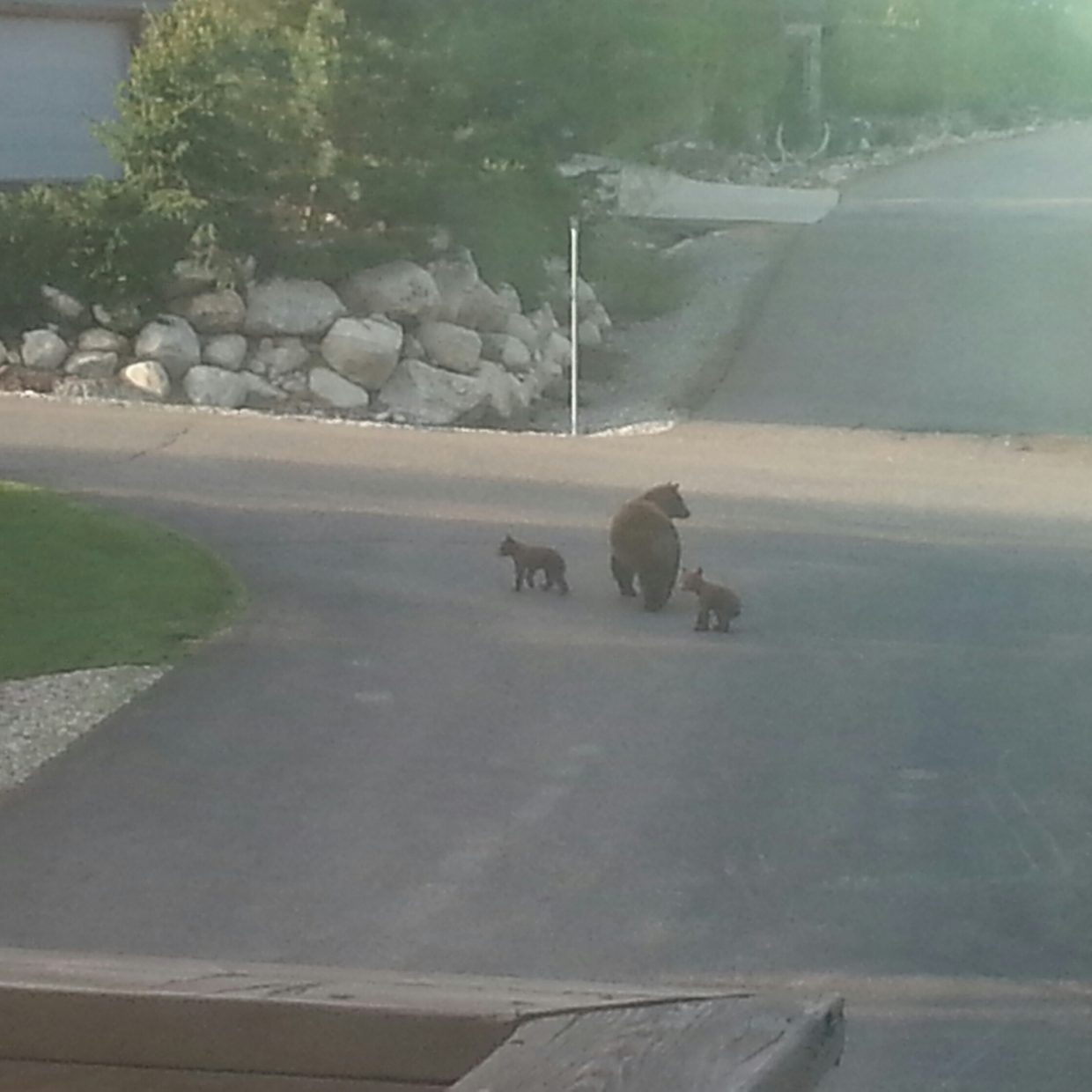 Momma bear and her cubs on Crabapple Ct. Submitted by: Megan Wejroch