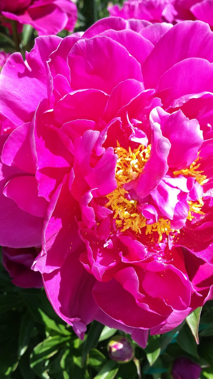 Peonies blooming at the Yampa River Botanic Park. Submitted by Sonia Franzel.