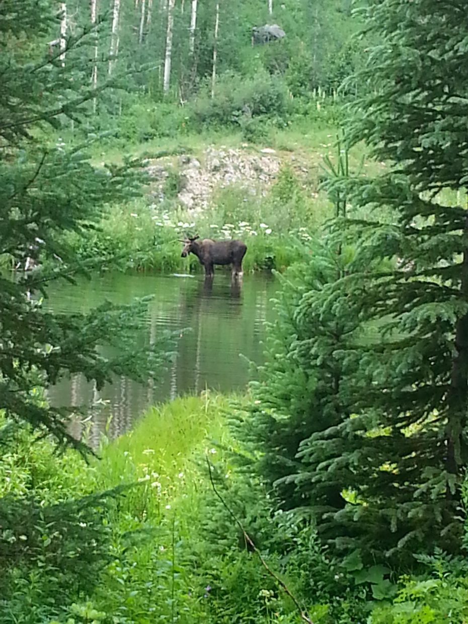 We encountered a moose at the end of the Slavonia trailhead after our hike to Gilpin lake on July 5. Submitted by Diana Lopes.