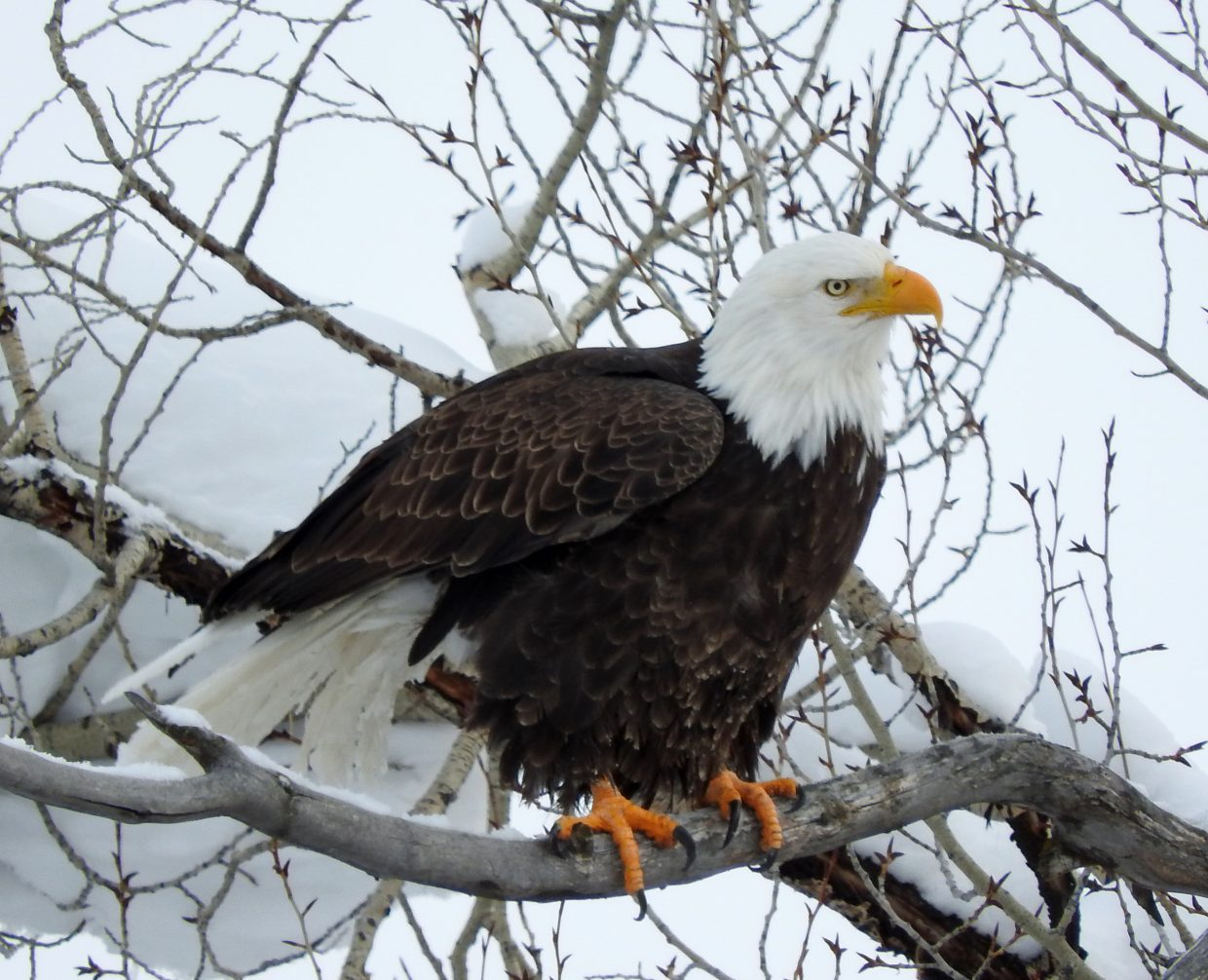 Bald Eagle along the Yampa River in Steamboat Springs. Submitted by Tresa Moulton.