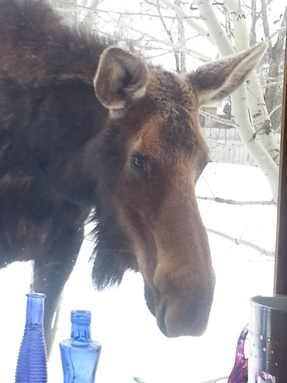 Mrs.Moose at the kitchen window.Excuse me,but this B&B is not accepting reservations at this time! Submitted by Carol Littell.