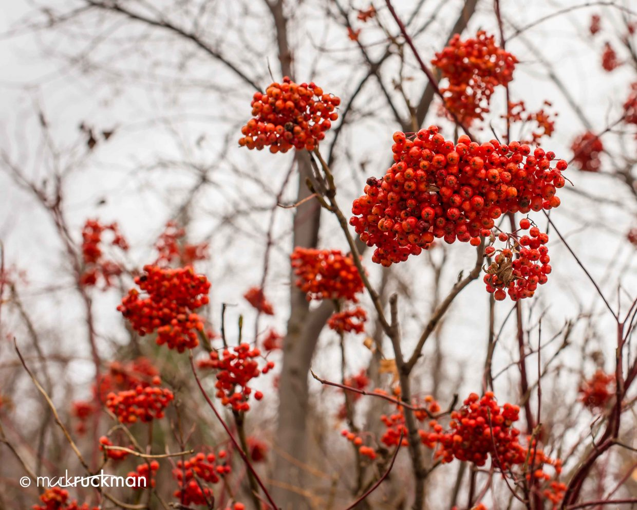 Berries along Sarvis Creek. Submitted by: Mark Ruckman